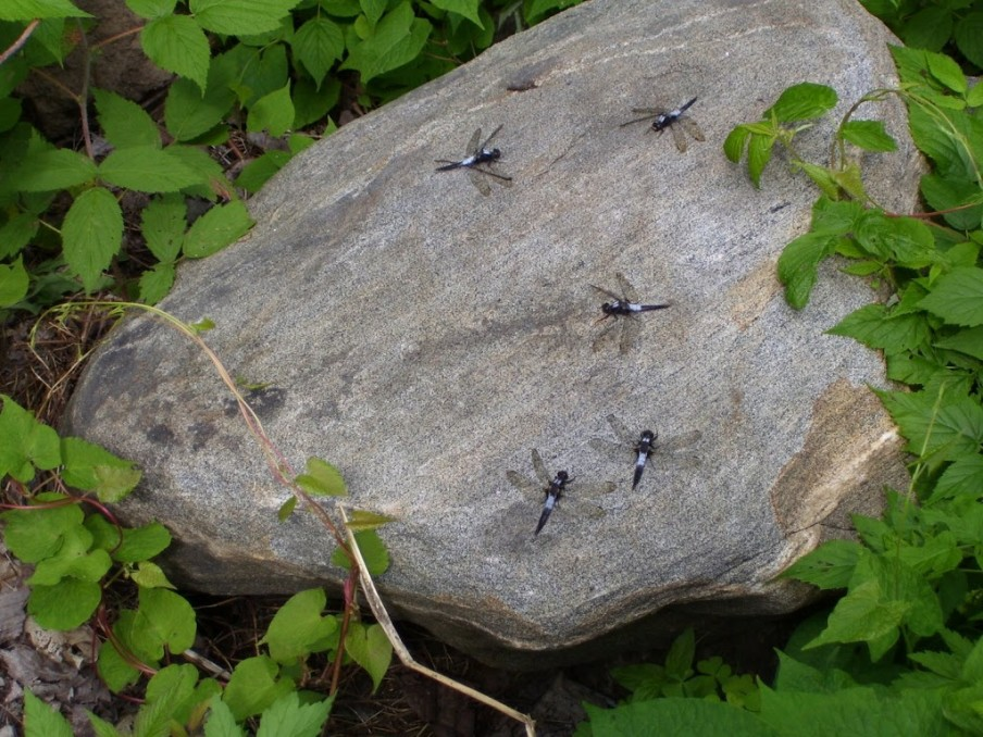 five-dragonflies